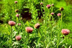 Маралий корень — лечебное растение