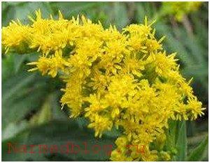 Трава золотая розга