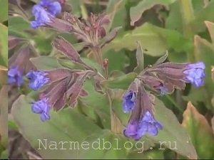 Трава медуница