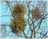 Омела на дереве