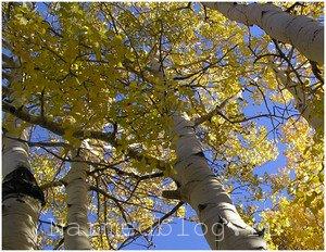 Осина лечебные свойства коры осины и противопоказания