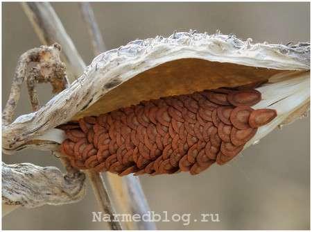 Семена ваточника сирийского