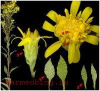 Золотая розга - цветки и листья
