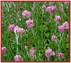 Кошачья лапка растение двудомное