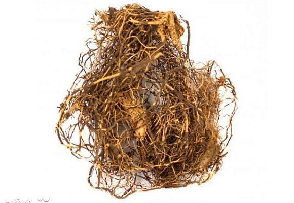 Лечебные свойства и применение корня марала в народной медицине