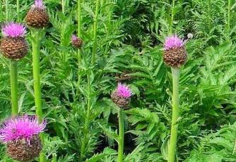 Маралий корень - лечебное растение