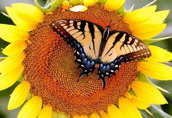 Подсолнух| Helianthus — солнечный цветок| семейства Астровые