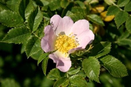 Шиповник собачий|Rosa Canina L.|Семейство розоцветных – Rosaceae