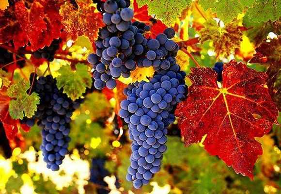 Виноград при радикулите