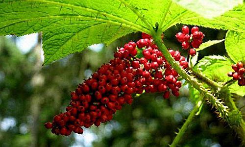 Заманиха – лечебные свойства
