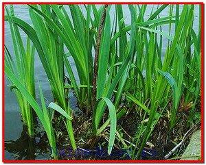 Аир болотный: лечебные свойства и применение