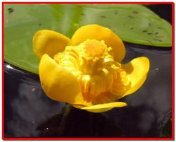 Кубышка желтая. Лечебные свойства и применение в народной медицине